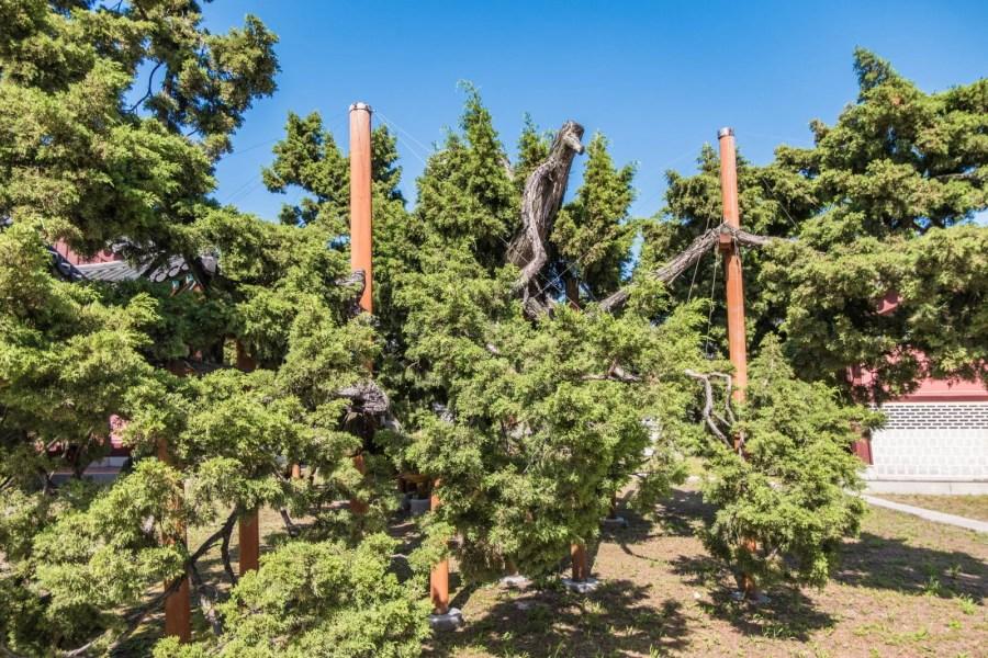 vieil arbre changdeokgung chinese juniper