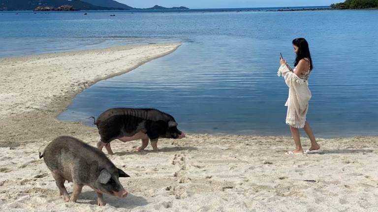 Cochons Sawasdee Ka!  Les voyageurs peuvent désormais explorer la `` Baie des Cochons '' en Thaïlande