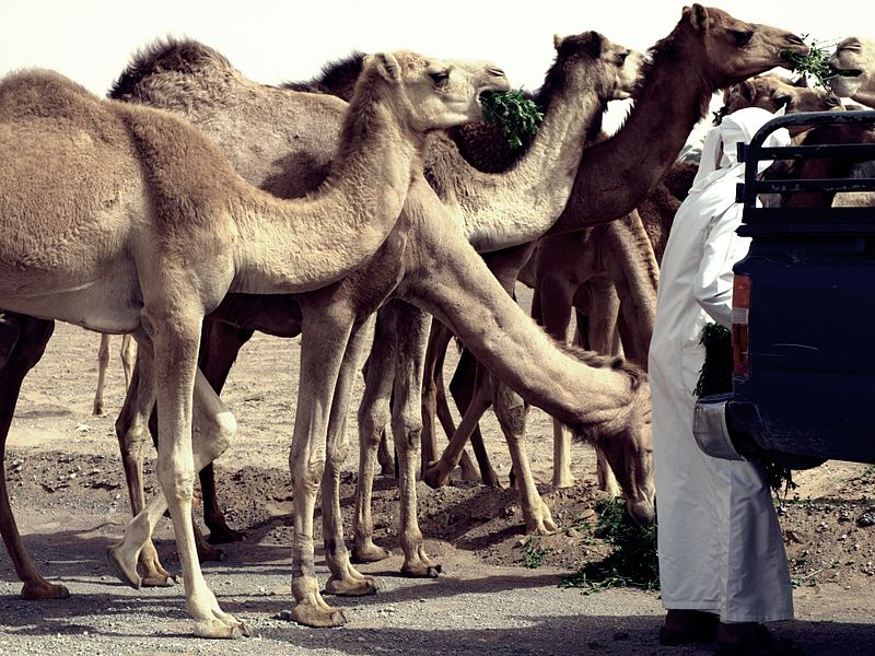 Camels in Fujairah, UAE