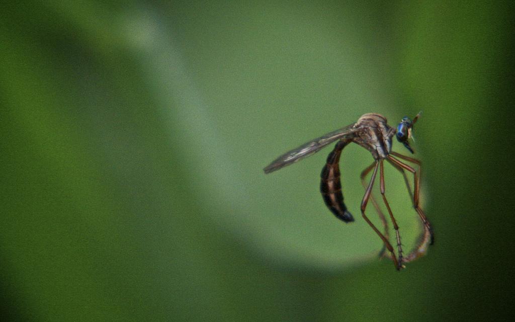 Dengue fever mosquito close-up