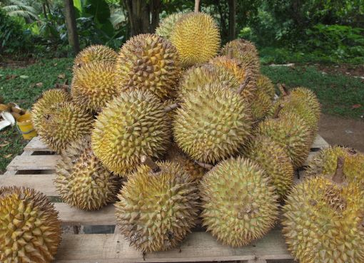 Durian fruits in Malaysia