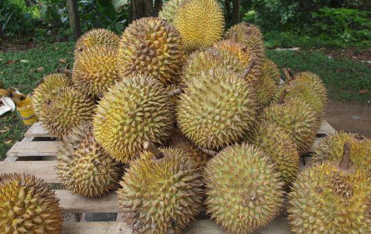 Durian fruits in Malaysia