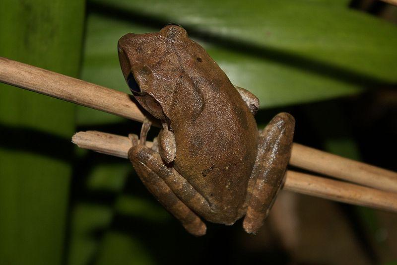 Common Tree Frog (Polypedates leucomystax)