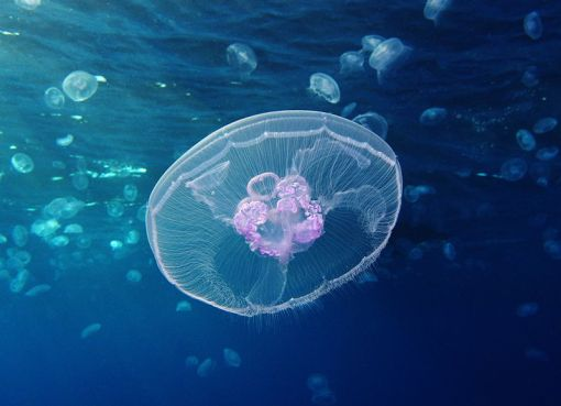 Moon jellyfish Aurelia aurita, Red Sea