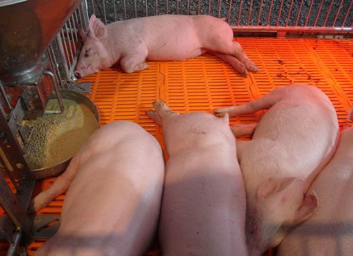 Pig farming in Chiang Mai