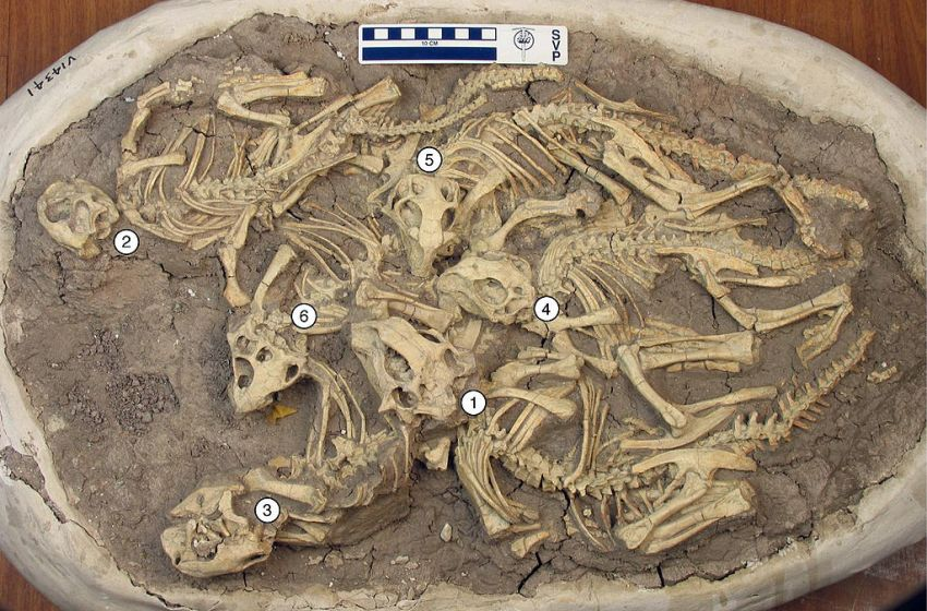 Cluster of six juvenile Psittacosaurus dinosaurs