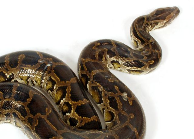 Man killed by riled python in front of elderly sister