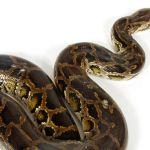 Python molure snake