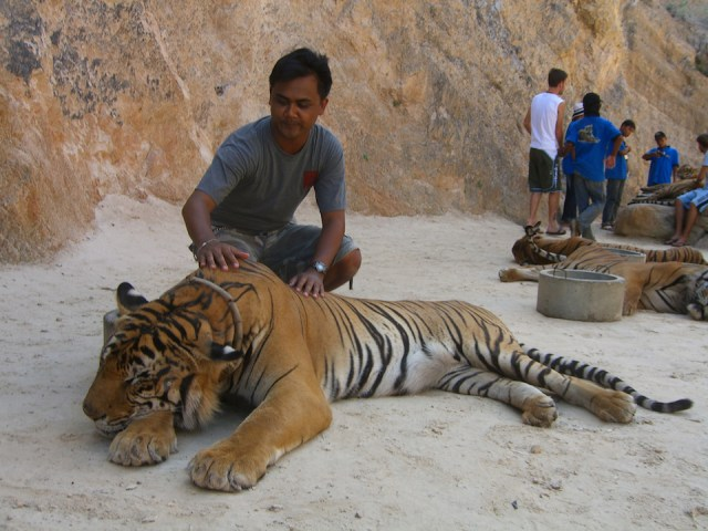 Department denies reopening of Tiger Temple