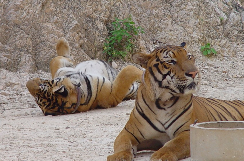 Tiger temple animals now 'starving'