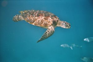 Over 20 sea turtles beach and most die in Phuket and Phang-nga in two months