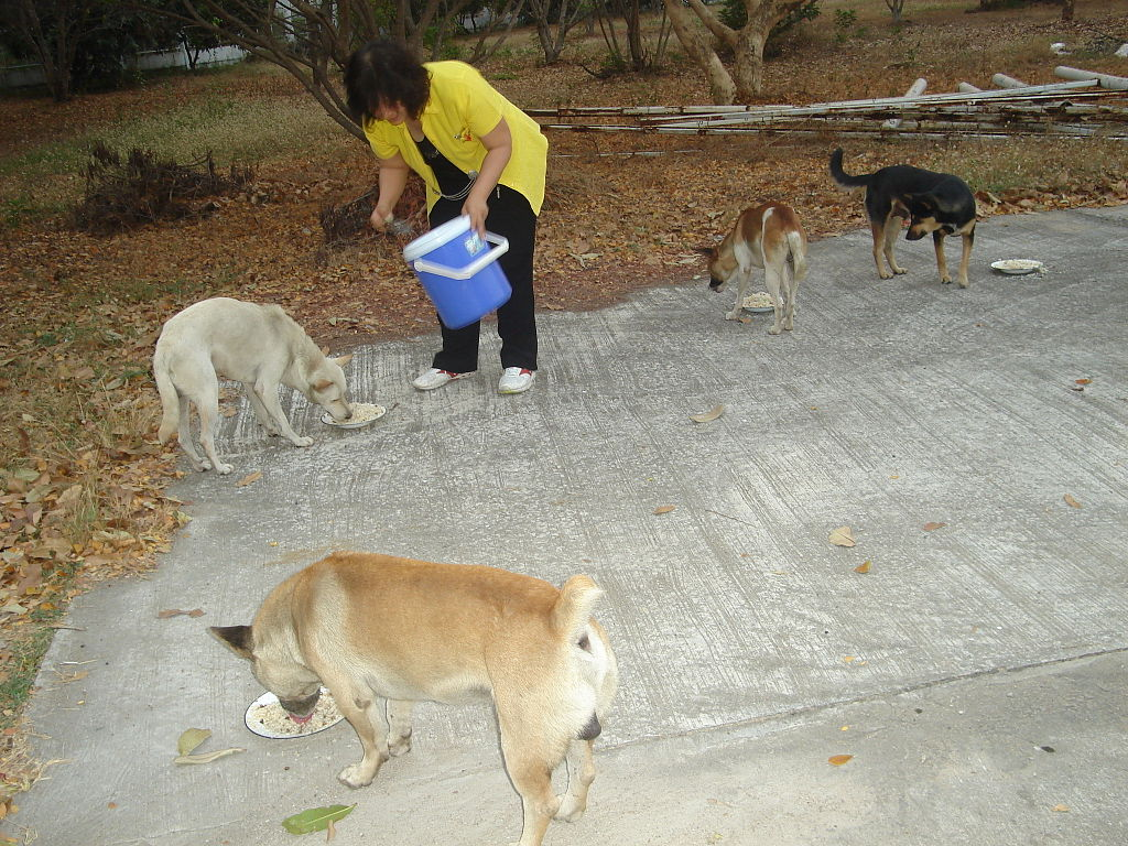 Feeding dogs in Thailand