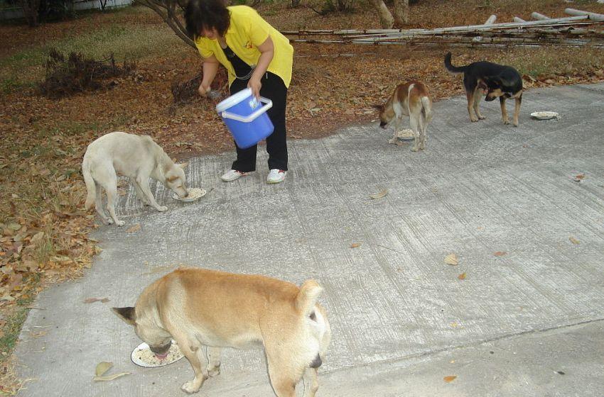Feeding dogs in Thailand