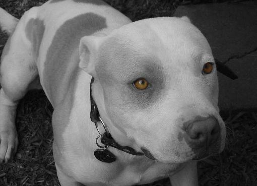 White Pitbull