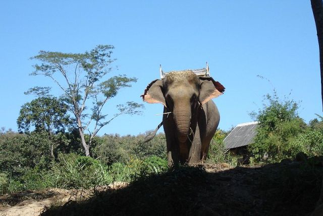 Wild elephant kills Buri Ram chilli farmer