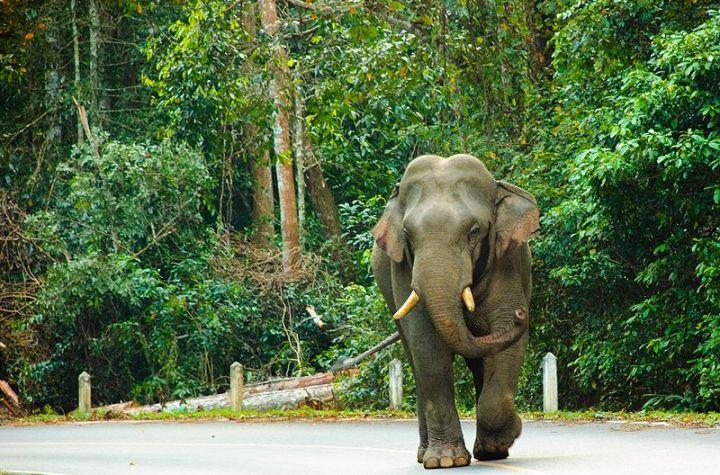 Wild Asian Elephant in Khao Yai