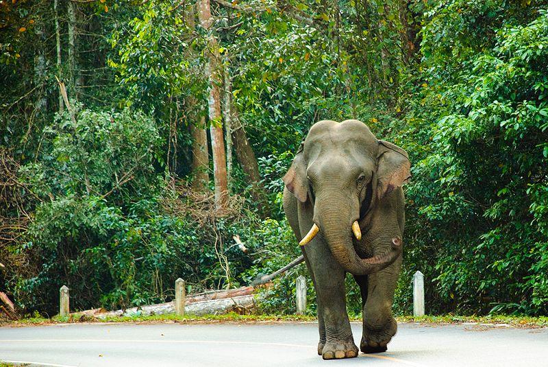Man, 80, Killed By Wild Elephant In Khao Yai