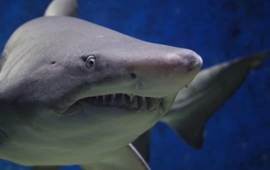 Close-up of a shark