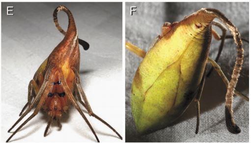แมงมุมสายพันธุ์ใหม่คล้ายใบไม้แห้ง