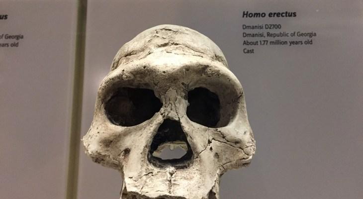 มนุษย์ Homo erectus