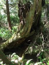 Tofino Trees