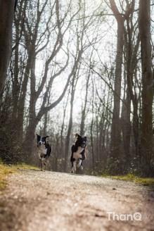 Hondenfoto van border collies Fenna en Jindi in het Veerse Bos