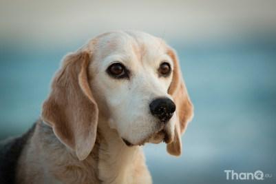 Yoica (beagle) op het strand bij Vlissingen