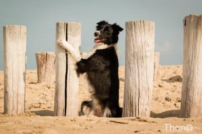 Border collie Fenna op het strand bij Domburg