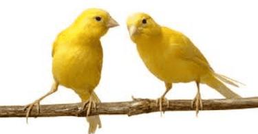 تربية العصافير الاسترالى فى المنزل من الالف الى الياء