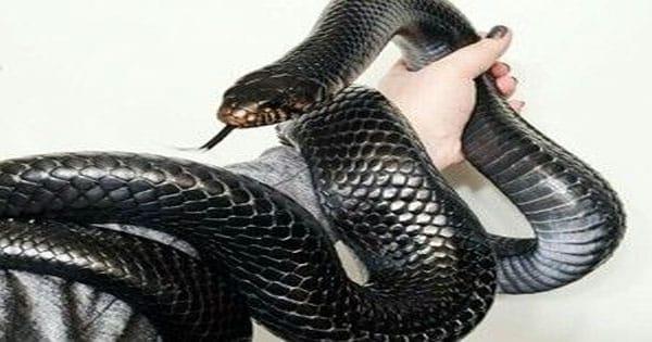 الثعبان الأسود في المنام