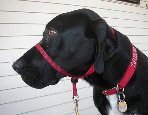 My dog wearing a Gentle Leader