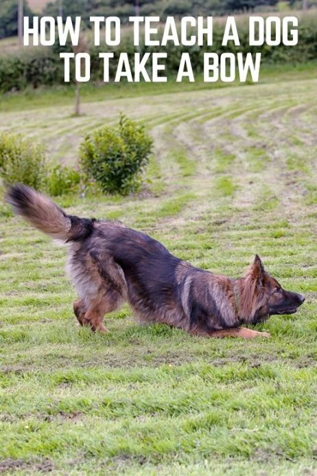 How to teach a dog to take a bow in 3 easy steps #dogtraining #dogtricks #germanshepherds