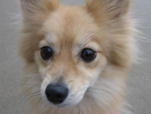 Elli the Pomeranian mix, my dog pees next to the pee pad