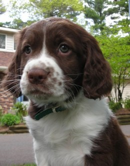 Sophie the English springer spaniel puppy