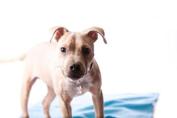 Cal the pitbull mix up for adoption in Fargo ND