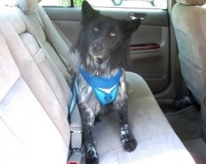 Should dogs wear seat belts?