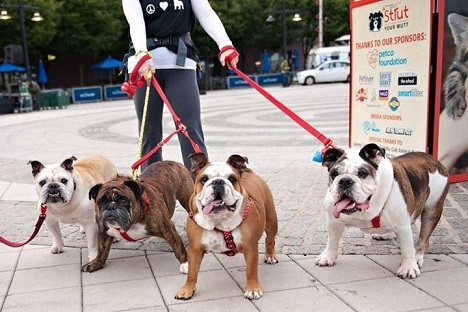 Four English bulldogs together