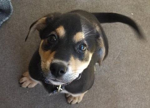 Black and tan German shepherd mix puppy