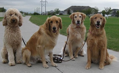 Walking four golden retrievers at once