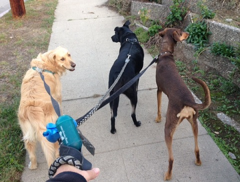 Unsafe to walk three dogs like this