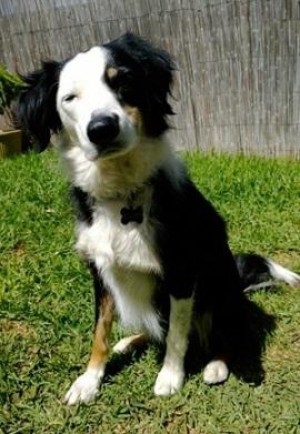 Border collie mix for adoption in South Australia