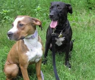 Brown pitbull and black pitbull