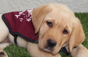 Adelle as a puppy in training