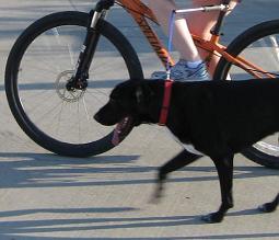 Biking with my dog using a hands-free bike leash