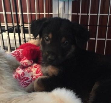 Rottweiler chow mix puppy for adoption Washington