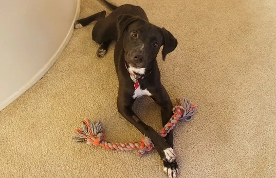 Black Lab mix puppy with rope toy