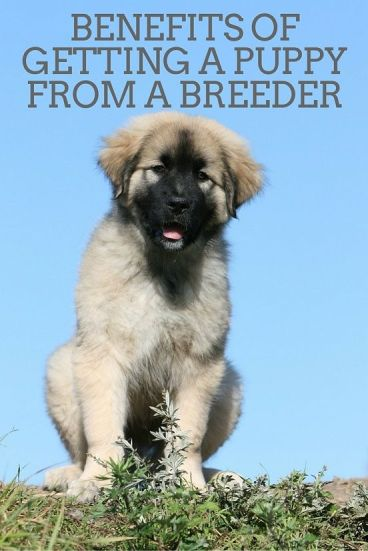 Benefits of getting a puppy from a breeder
