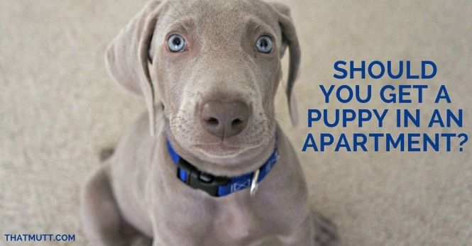 Should You Get A Puppy In An Apartment Thatmutt