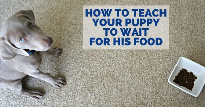 How to teach a dog to wait for his food
