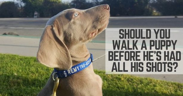 Walk a puppy before all his shots